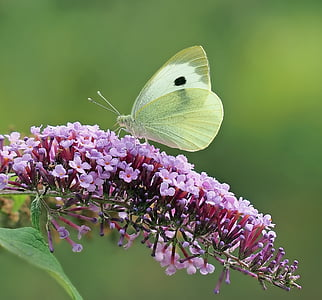 green and black Cabbage butterfly