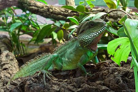 green iguana beside green leaves