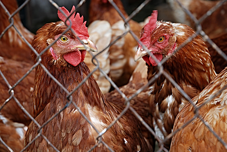 closeup photo of brown chickens