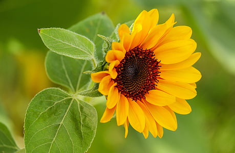 macro shot photography of sunflower