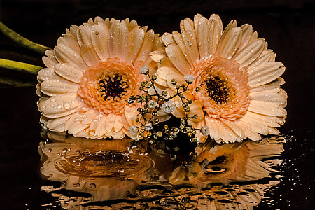gerbera, gypsophila, flowers, petals, orange, drop of water