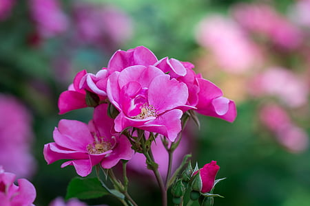 focus photography of pink rose flowers