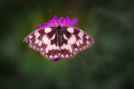 marbled white butterfly perched on purple petaled flower