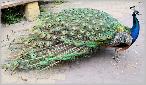 photo of peacock on gray pavement