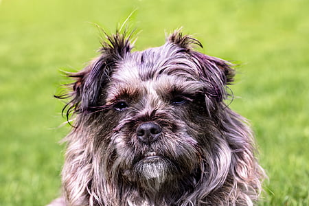 adult gray and white Cairn terrier