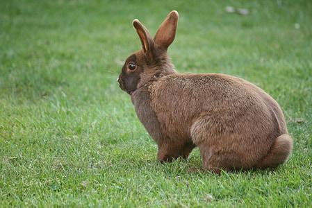 brown rabbit on green grass field