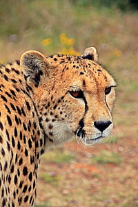 leopard looking his right