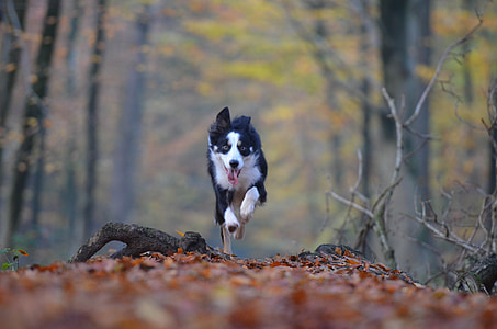 running white and black Border collie