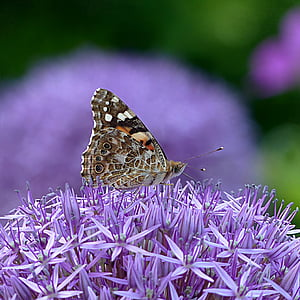 painted lady butterfly perching on purple flowers in selective focus photography
