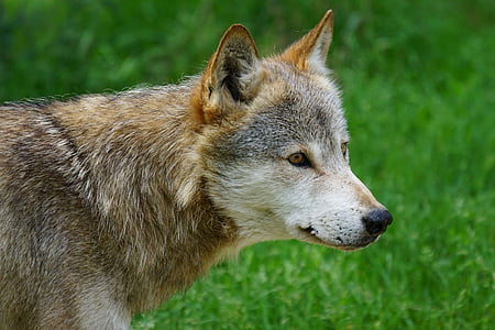 closeup photography of brown and white wolf