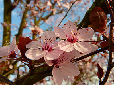 closeup photo of cherry blossom flowers