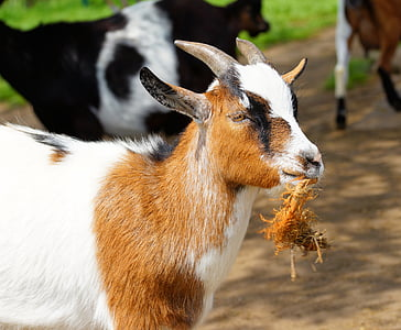 brown and white goat at daytime