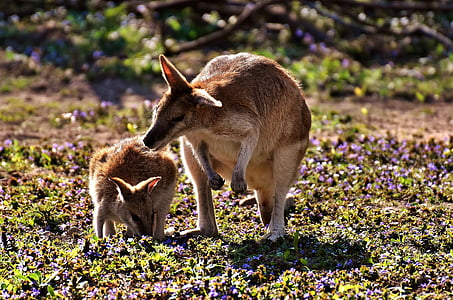 brown kangaroo and joey
