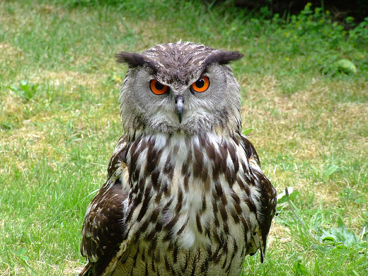 barn owl on grass