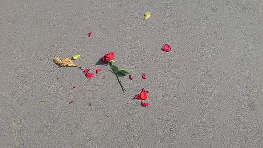 red rose on asphalt road