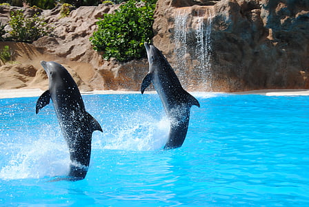 two black dolphins having exhibition on body of water
