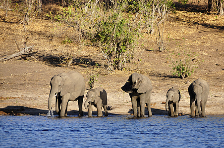five elephants standing on body of water at daytime