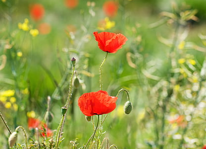 two red poppy flowers