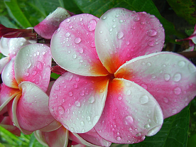 pink and white plumeria flower wit water dew in closeup photo