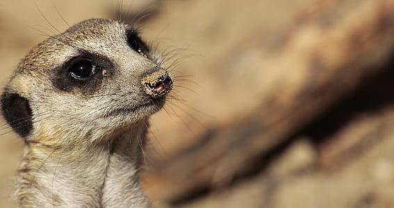 closeup photo of meerkat