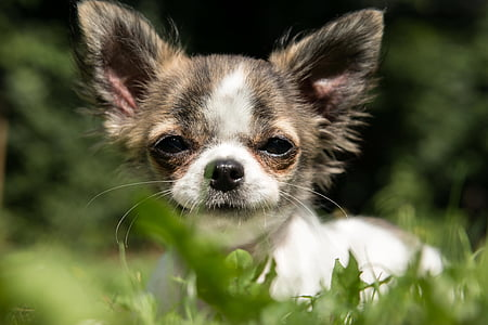 brindle and white Chihuahua puppy on the green grass field