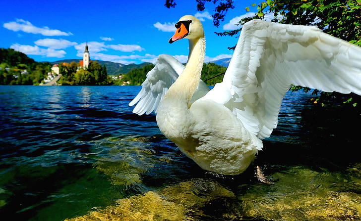 white swan spreading its wings near lake