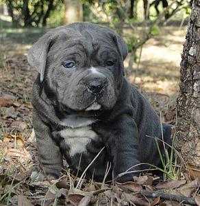 blue and white American bully puppy