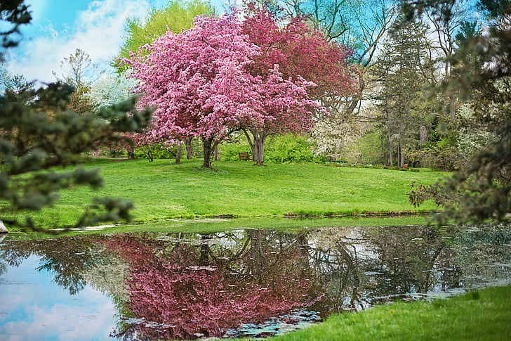 pink cherry blossom trees