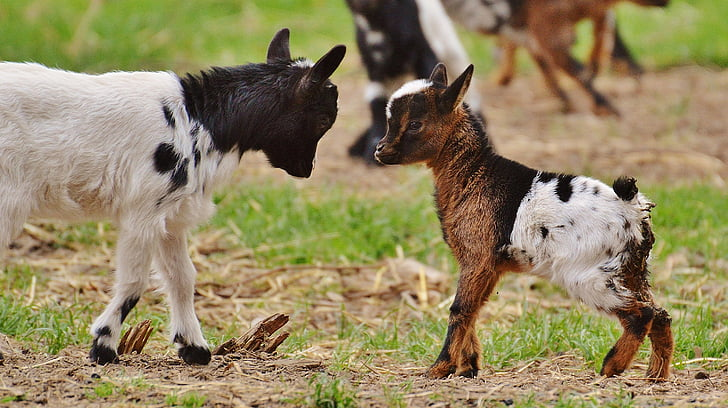 two kid goats on brown and green grass field