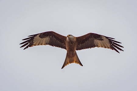 brown eagle flying