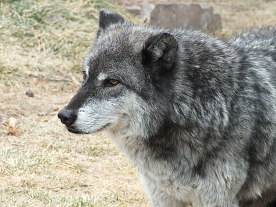 shallow focus photography of wolf