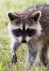 selective focus photography of gray raccoon on green grass