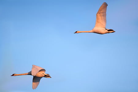 two flying white long-necked birds
