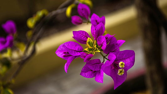 purple bougainvillea flower in closeup photo