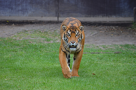 Bengal tiger stands on grass lawn