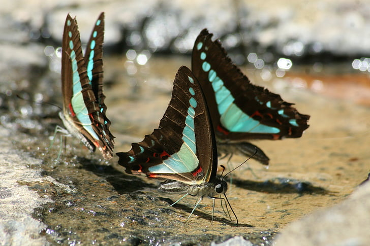 close up photography of three black\-and-teal butterflies