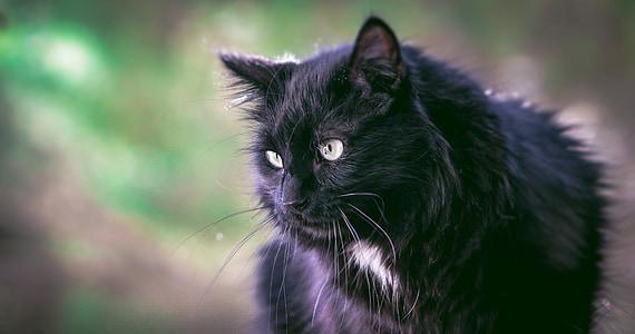 black lynx cat