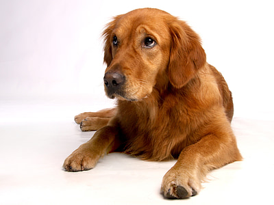 adult red golden retriever