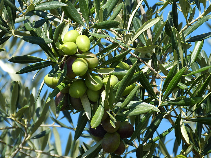 green fruits on tree
