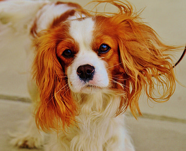 focus photography of Cavalier King Charles spaniel puppy