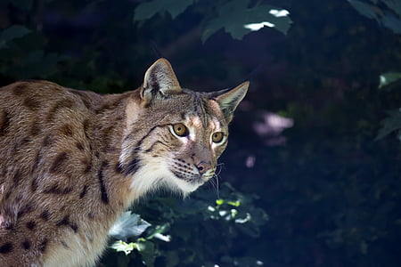 lynx, wildcat, predator, carnivore, undomesticated Cat, animal