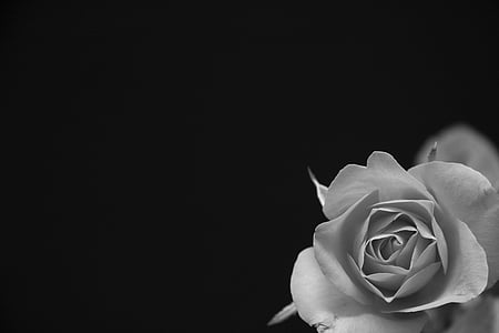 grayscale photography of rose