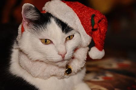 white short-fur cat
