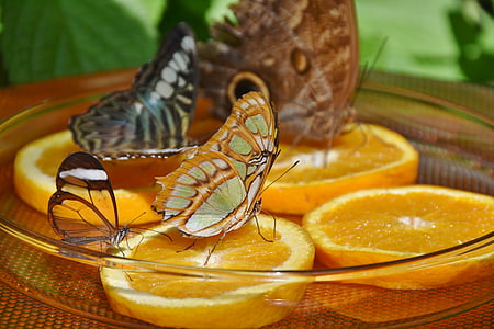 macro photography of three butterflies on citrus fruits