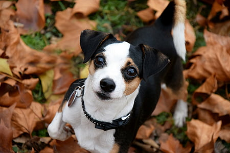 closeup photography of short-coated tricolor dog