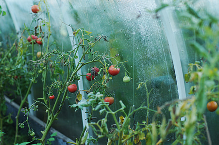 red tomato plant