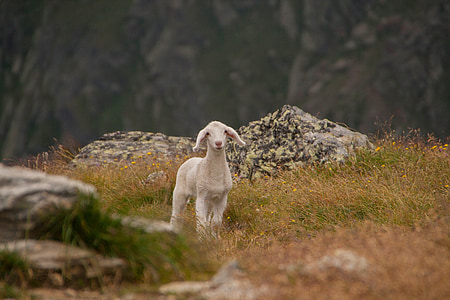 white goat surrounded by grass in shallow focus photography