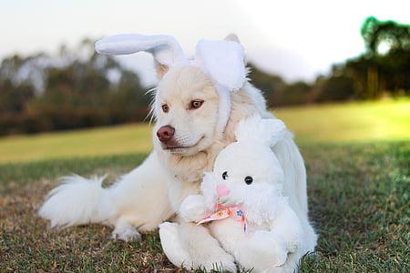 adult white Samoyed wearing white rabbit headband lying beside white rabbit plush toy over green grass ground
