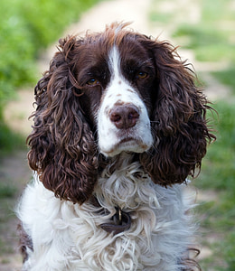 closeup photography of Welsh Springer spaniel