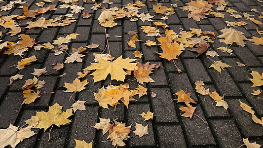 maple leaves on grey pavement